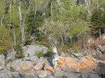 500 year-old cedar