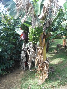 Banana plants attract insects and assist irrigation.