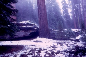 When you could still park your car on a log in Sequoia