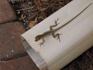 I was fascinated by my first gecko; but at some point he became just another -- Geico?