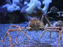Giant Japanese Spider Crab can reach as much as 13 feet across.