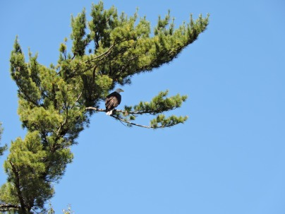 One of several eagles