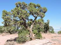Ancient Utah junipers seem to grow out of the rock.