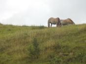 Nowegian horses