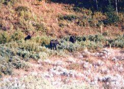Moose at Darwin