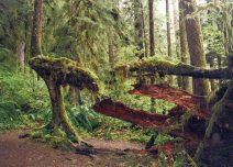 Quinault Rain Forest, Olympic National Park