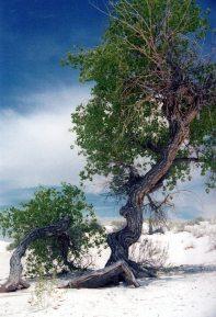 Desert Cottonwood White Sands National Park