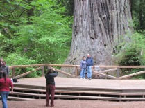 304 feet high; 21.6 ft in diameter; 68 ft. circumfrance; est. 1500 years old: Redwoods National and State Parks