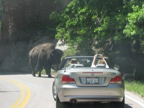 One can still encounter unusual traffic in the U.S. Wind Cave National Park