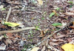 """The """"path"""" was created by leaf-cutter ants seen here carrying leaves."""