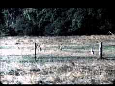 Wallabies at Butcher's Hill