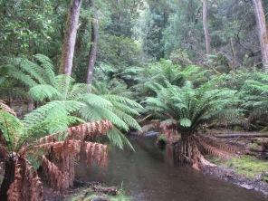 Tree ferns, Mount Field National Park